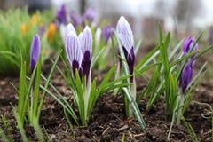 Beautiful purple crocus flower. Early spring flowers.  stock photos