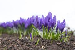 Beautiful purple crocus flower. Early spring flowers.  royalty free stock photo