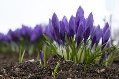 Beautiful purple crocus flower. Early spring flowers royalty free stock photo