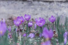 Beautiful purple crocus flower. Violet flowers. Beautiful purple crocus flower with grass Stock Photography