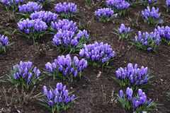 Beautiful purple crocus flowers. In garden royalty free stock photos