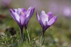 Beautiful purple crocus macro closeup Stock Image