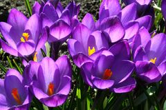 Beautiful purple crocuses bloom in the garden in all its glory royalty free stock image