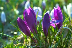Beautiful Purple Crocuses in Blurred Green Background royalty free stock images
