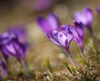 Beautiful purple crocuses on a meadow Royalty Free Stock Photography