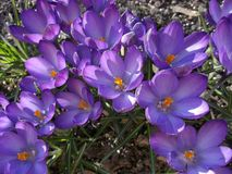 Beautiful purple crocuses in spring sunlight royalty free stock image