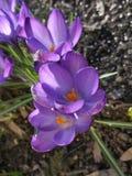 Purple crocuses. Beautiful nature royalty free stock photography