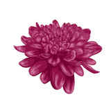 Beautiful purple dahlia isolated on white background. Royalty Free Stock Image