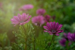 Beautiful purple daisies in a green field at sunset. Royalty Free Stock Images