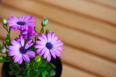 Beautiful purple daisies with space for text. Extreme close up Royalty Free Stock Image