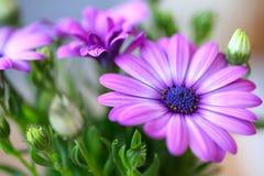 Beautiful purple daisies Stock Photography