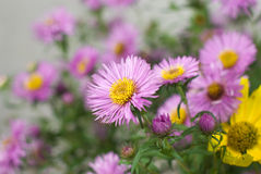 Beautiful purple daisy Royalty Free Stock Photo