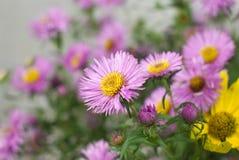 Beautiful purple daisy Royalty Free Stock Photo