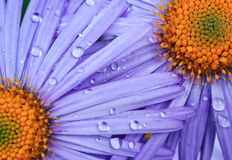 Beautiful purple daisy flowers. With rain drops Stock Photo