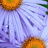 Beautiful purple daisy flowers Stock Photography