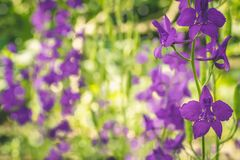Beautiful purple Delphinium flowers on a nature royalty free stock image