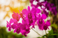 Beautiful Purple Dendrobium orchid flower in the orchid garden. Royalty Free Stock Photography