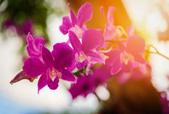 Beautiful Purple Dendrobium orchid flower in the orchid garden. Royalty Free Stock Photos