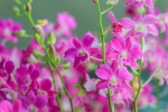 Beautiful purple dendrobium orchid flowers on the dark backgroun stock photography