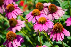 Beautiful Purple echinacea Sombrero flower in a spring season at a botanical garden. A beautiful Purple echinacea Sombrero flower in a spring season at a stock photo