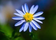 Beautiful 'purple fanfare' flower Royalty Free Stock Photo