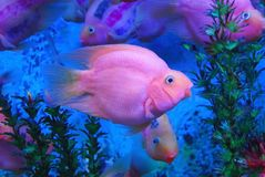 Beautiful purple fish Royalty Free Stock Photography