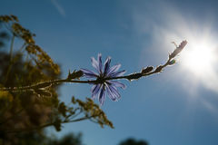 Beautiful purple flower on a background of blue sky in the sun.  Stock Photos