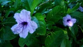 Beautiful purple flower. In the backyard Royalty Free Stock Image