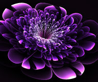 Beautiful purple flower on black background. Royalty Free Stock Image