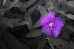 Beautiful purple flower Royalty Free Stock Photography
