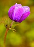 Beautiful purple flower blossom in the garden Stock Photography