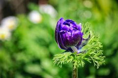 Beautiful purple flower bud royalty free stock images