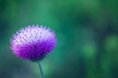 Beautiful purple flower of burdock Stock Photo