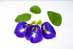Beautiful Purple Flower, Close up Butterfly Pea Flower on White Background royalty free stock image