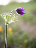 Beautiful purple flower, dream herb (Pulsatilla patens) Stock Images