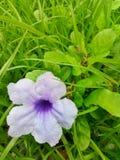 A beautiful purple flower in the field. Ul purple flower field green stock photography