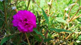 Beautiful purple flower in the garden. royalty free stock photography