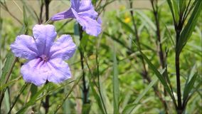 A beautiful purple flower with green leaves sway in a warm spring breeze in a spring season at a botanical garden. Beautiful purple flower with green leaves stock video