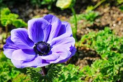 Beautiful purple flower head royalty free stock photography