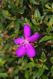 Beautiful purple flower. Image of a flower in the garden Royalty Free Stock Photography