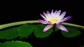 Beautiful of purple flower. Beautiful purple lotus flower in the garden royalty free stock image