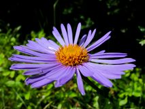 A beautiful purple flower with an orange center and dew drops stock images