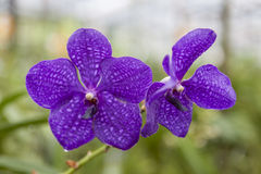 Beautiful purple flower orchid on a branch close-up. Royalty Free Stock Images