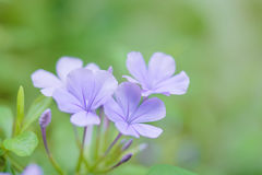 Beautiful purple flower over green background.  Royalty Free Stock Photo