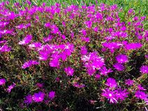Beautiful purple flower patch 4k. Up close look at purple flower patch flower 4k Stock Images