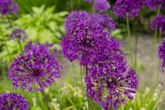 Beautiful purple flower Stock Photography
