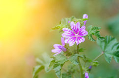 Beautiful purple flower and the sun's rays. royalty free stock photos