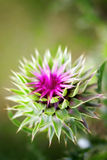 Beautiful purple flower of thistles Stock Photo
