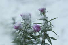 Beautiful purple flower under the white snow . Royalty Free Stock Photo