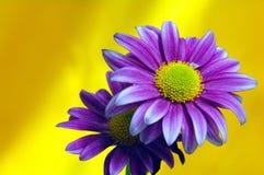 Beautiful Purple Flowers Royalty Free Stock Image